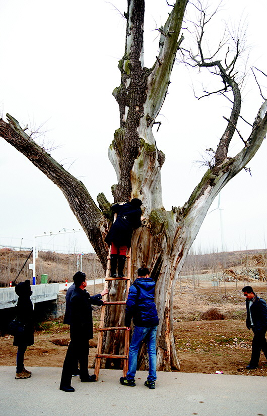 古槐的枝干很多处都顶着柱子,起到了很好的支撑作用,这都是赵孔良做的